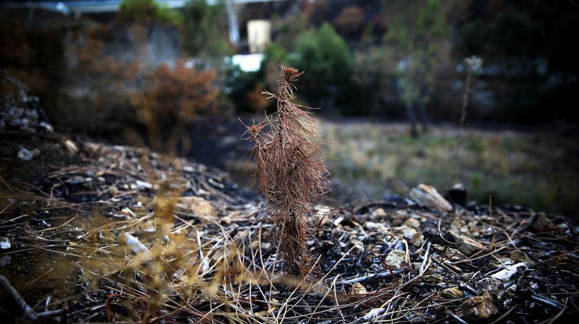 Terreno da Serração Progresso Castanheirense com pinheiros novos, queimados e irrecuperáveis