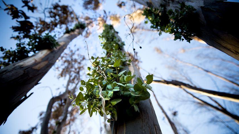 Dia da Árvore. Um eucalipto pode render até 24 mil folhas A4
