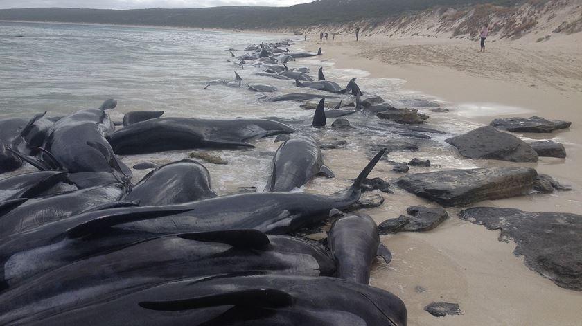 Mais de 140 baleias morrem encalhadas numa praia na Austrália