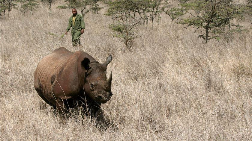 Já só há 5.500 rinocerontes-negros no mundo, 750 deles no Quénia. Foto: Thomas Mukoya/Reuters