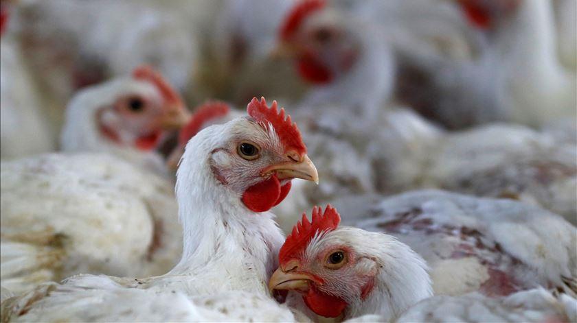 Podem os excrementos das galinhas ajudar a salvar o mundo?