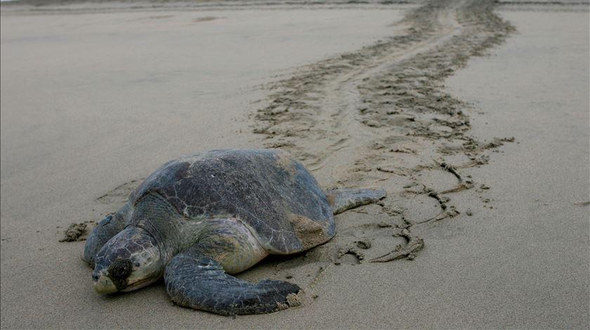Mais de 100 tartarugas mortas dão à costa no México