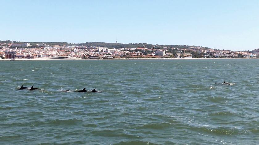 Golfinhos estão de volta ao rio Tejo. Veja as imagens