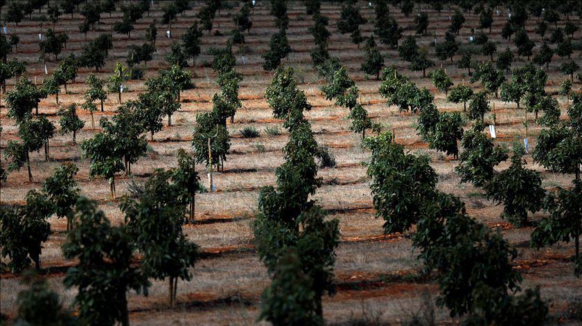 O preço da popularidade dos abacates num Algarve em seca