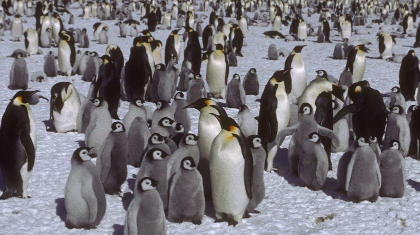 Microplásticos detetados pela primeira vez em pinguins da Antártida
