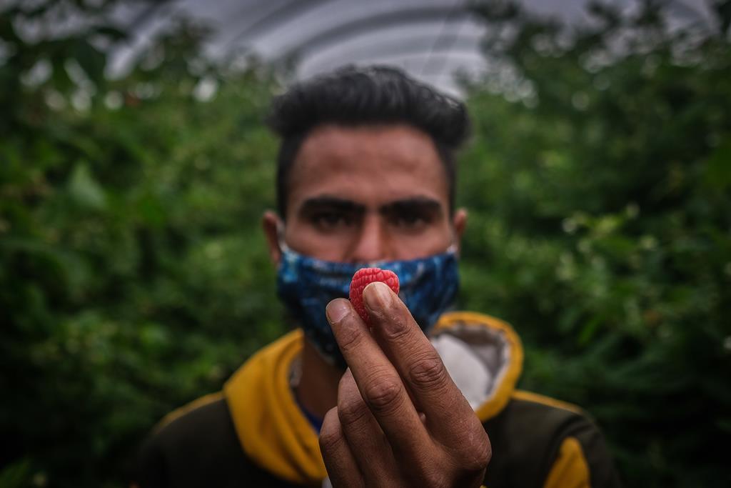 Trabalhador migrante sazonal no Alentejo. Foto: Mário Cruz/Lusa