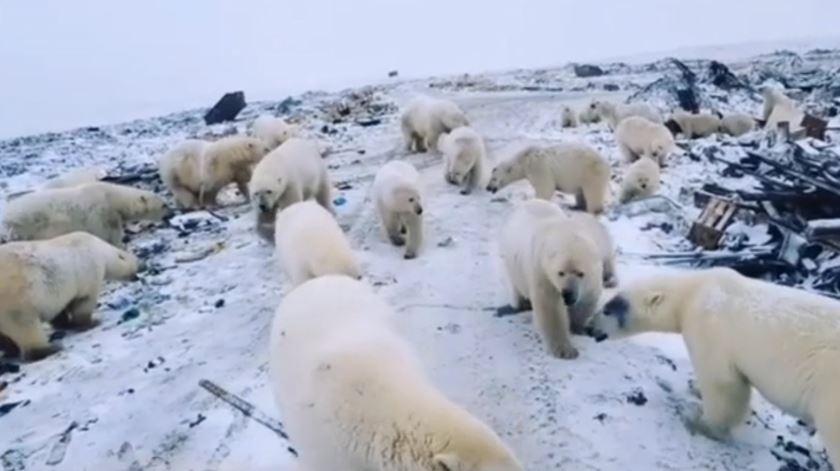Dezenas de ursos polares invadiram arquipélago russo