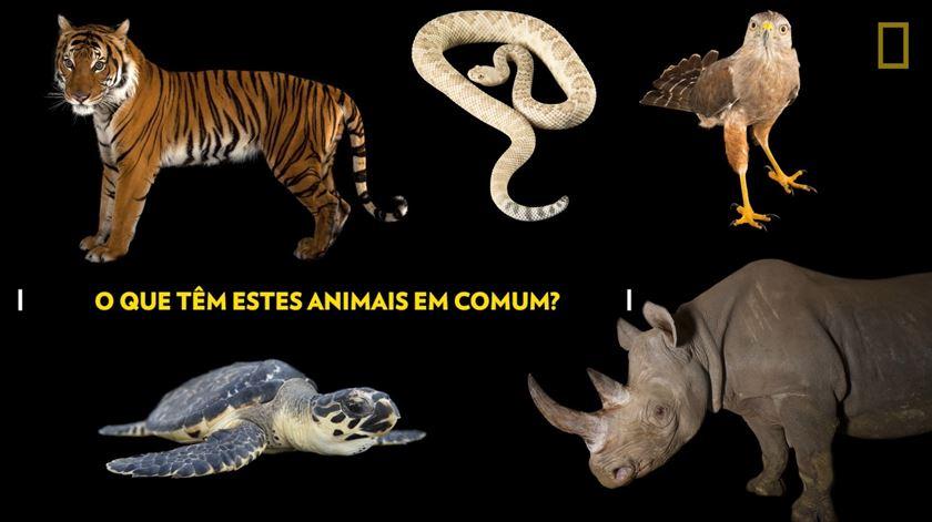 O que têm em comum um tigre, uma tartaruga e um rinoceronte?