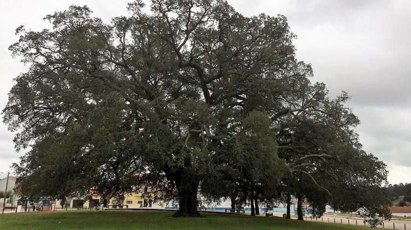"""Sobreiro Assobiador tem 234 anos e correr agora para se tornar """"Árvore do Ano 2018"""". Foto: Rosário Silva/ RR"""