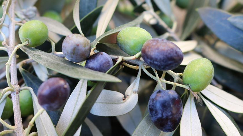 Quebra na produção de azeitona este ano. Foto: Olímpia Mairos/RR