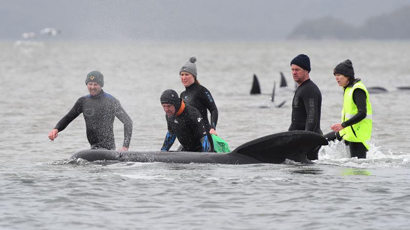 Mais de 500 baleias estão presas em banco de areia na Tasmânia