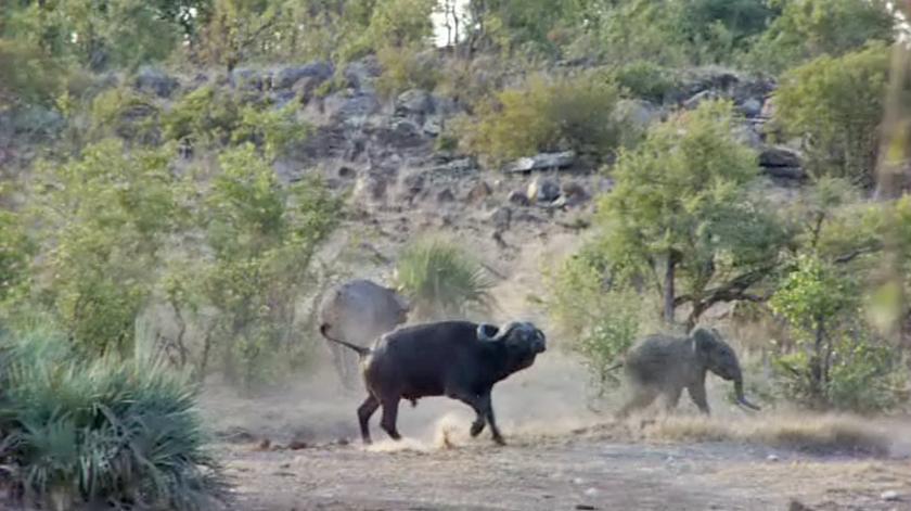 Búfalos defendem elefante bebé de ataque de leões