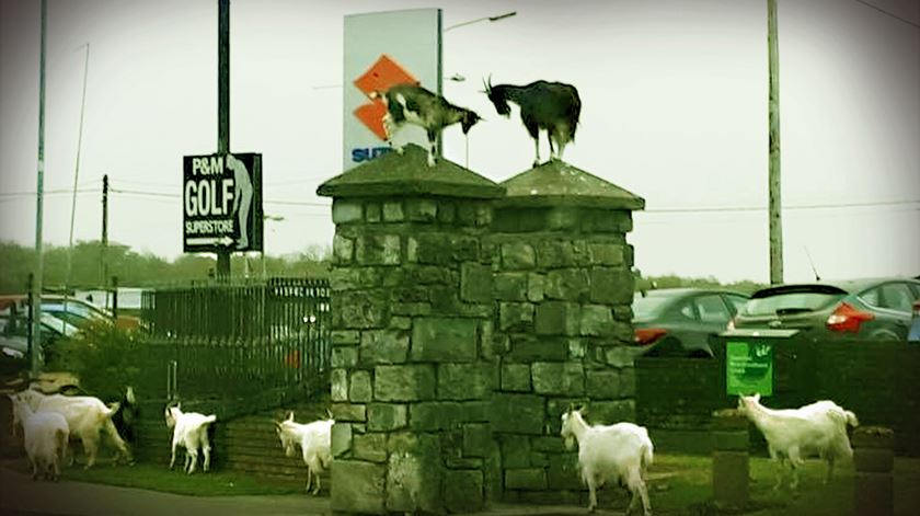 Estas cabras estão a infernizar a vida de uma pequena cidade irlandesa