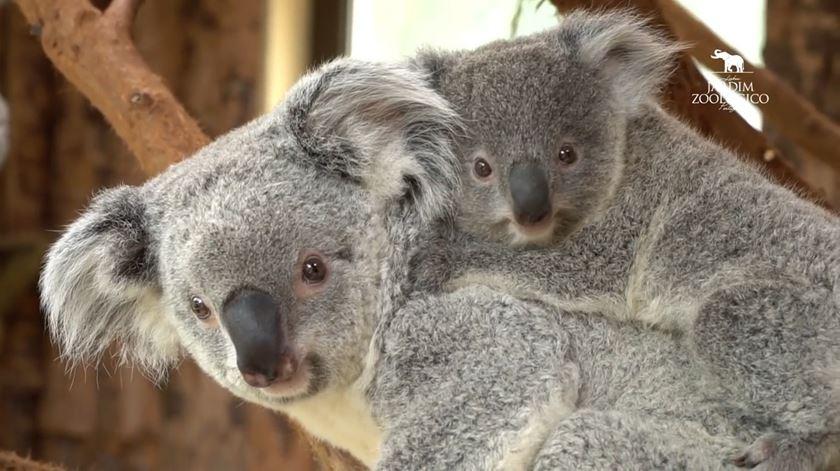 Bunji, Bouddi ou Yooralla? Nome do bebé coala do zoo de Lisboa vai estar para votação