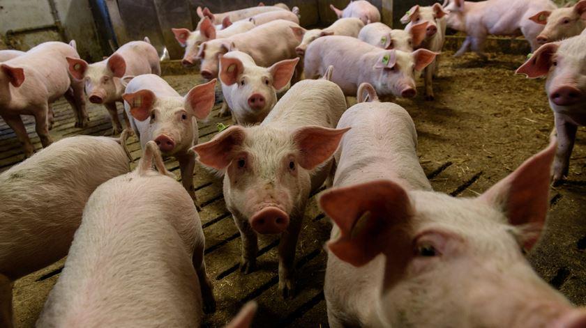 """Vírus ligado a suínos """"não representa qualquer perigo"""""""