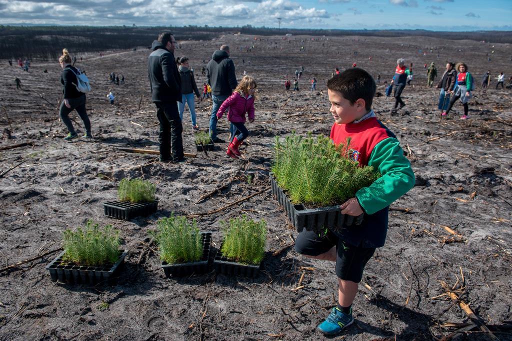 Reflorestação do pinhal de Leiria, em 2018. Foto:Rui Miguel Pedrosa/Lusa