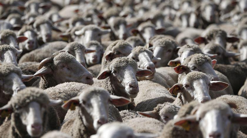 "Centenas de ovelhas ""invadiram"" Madrid"