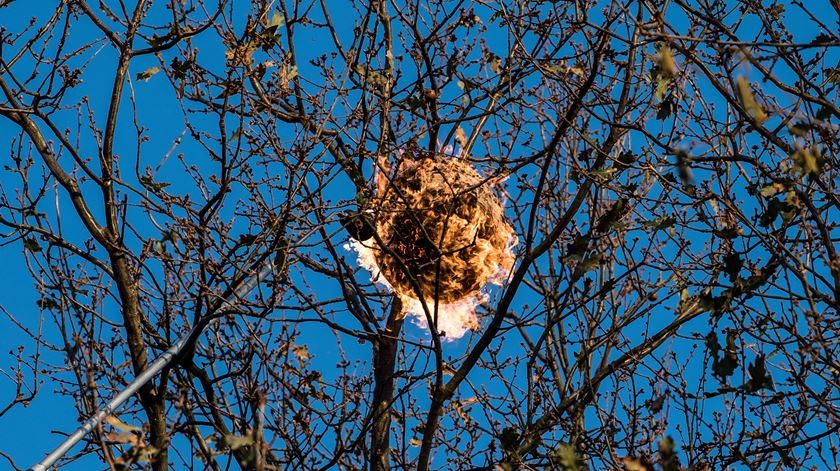 Ninho de vespa asiática. Foto: Octávio Passos / Lusa