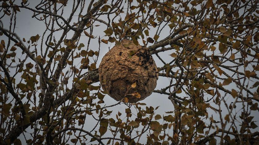 Baião destruiu 405 ninhos de vespa asiática desde janeiro