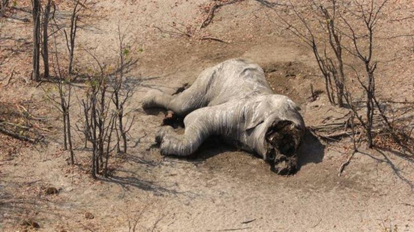 Botswana volta a permitir caça ao elefante