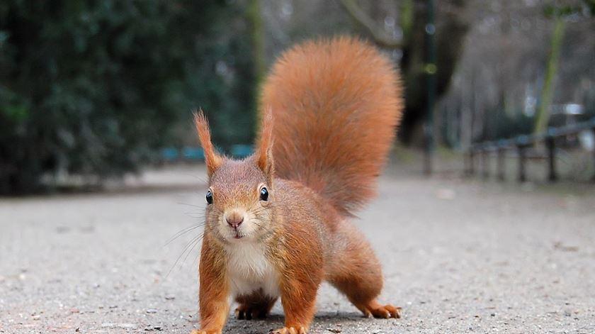 Foram dados como extintos em Portugal, mas os esquilos estão de volta