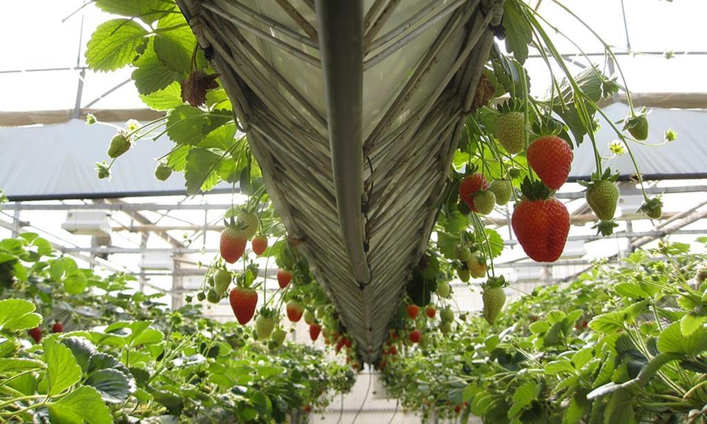 Muitos dos imigrantes na região trabalham no setor agrícola. Foto: DR