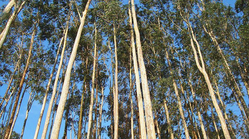 PSD critica planos do Governo para reformar a floresta. Foto: DR