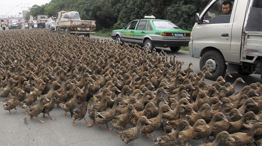 """""""Exército"""" de 100 mil patos a postos para combater praga de gafanhotos no Paquistão"""