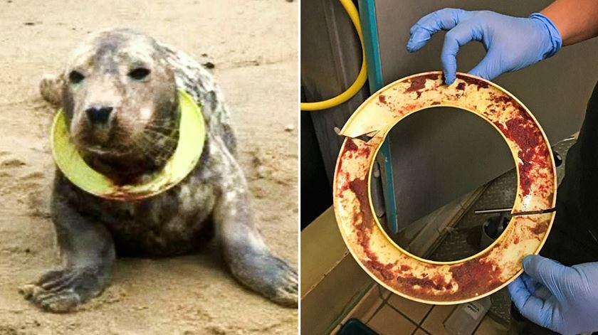 Frisbee, a foca encontrada a sufocar com disco voador já voltou ao mar