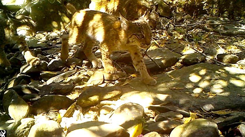 Crias de lince ibérico filmadas a passear no Vale do Guadiana