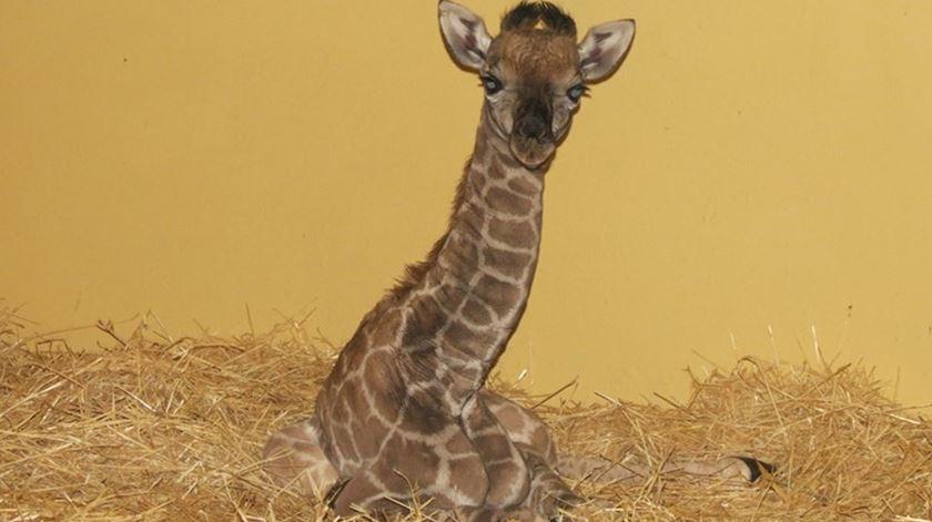 Uma raridade com 1,90 metros: eis a nova cria de girafa do Zoo de Lisboa