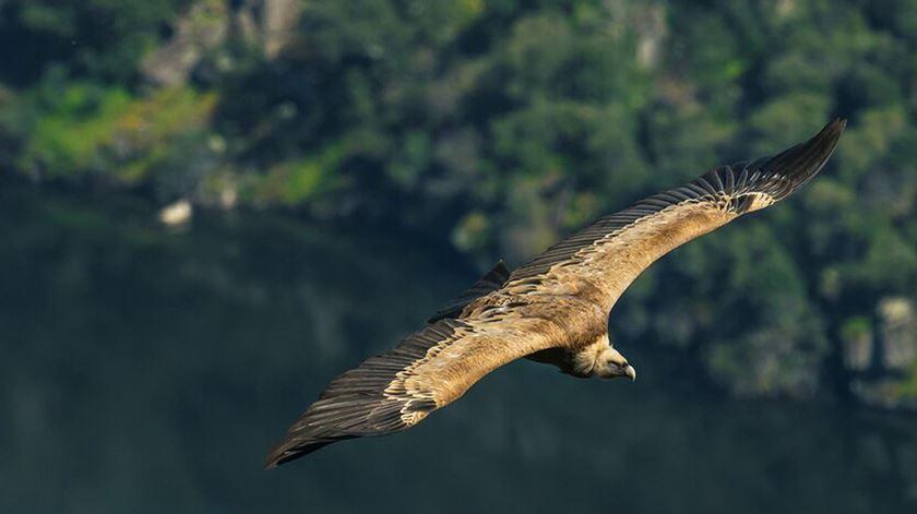Grifos: as aves sentinelas que vão detetar uso ilegal de veneno