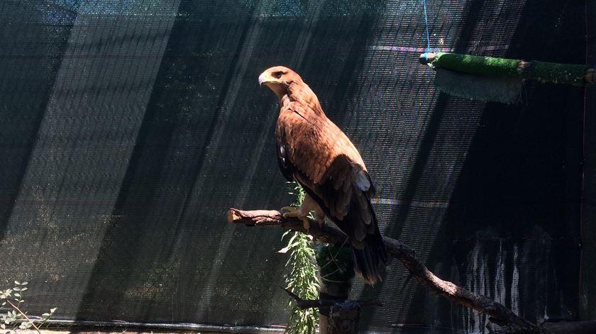 Águia real ibérica, a ave de rapina mais ameaçada da Europa. Foto: CERAS - Quercus.