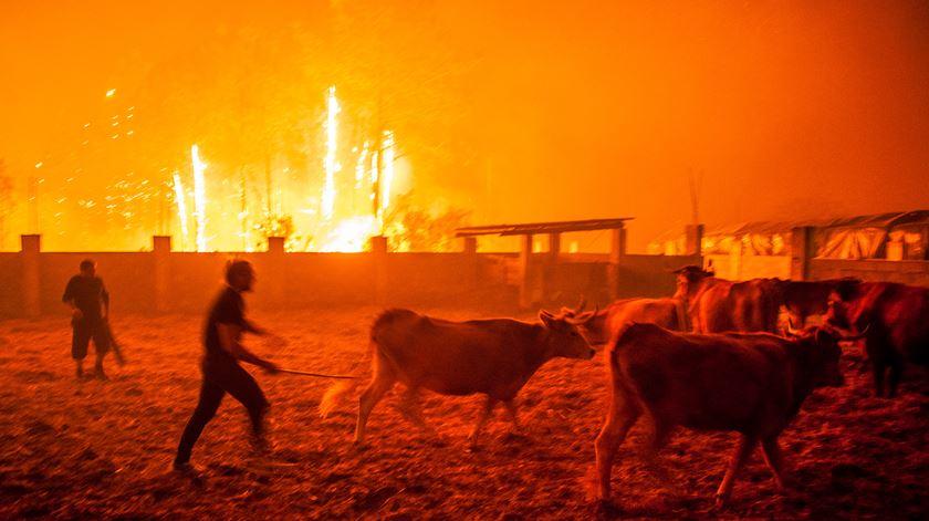 Populares recolhem o gado em Vieira de Leiria, na Marinha Grande. Foto: Ricardo Graça/Lusa