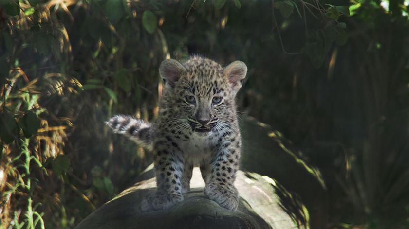Nasceram três novas crias de leopardo no Zoo de Lisboa e uma ainda procura nome