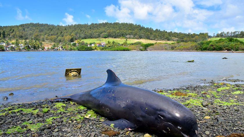 Desastre ambiental. Dezenas de golfinhos mortos nas Maurícias, manifestantes exigem investigação