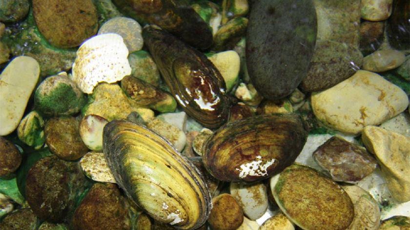 O mexilhão-de-rio é raro e não comestível. Foto: DR