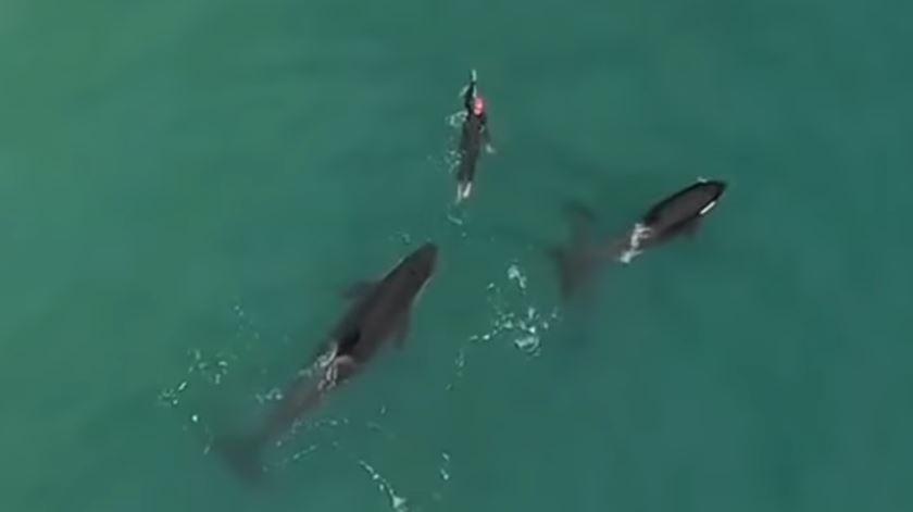 Golfinhos? Eram orcas e fizeram uma amiga em alto mar