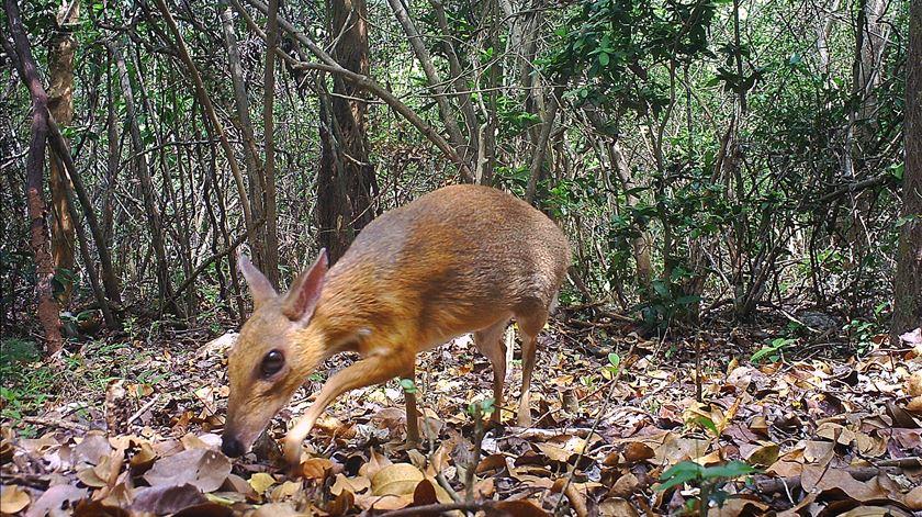 Espécie de cervo-rato redescoberta 30 anos depois de ter sido dada como extinta