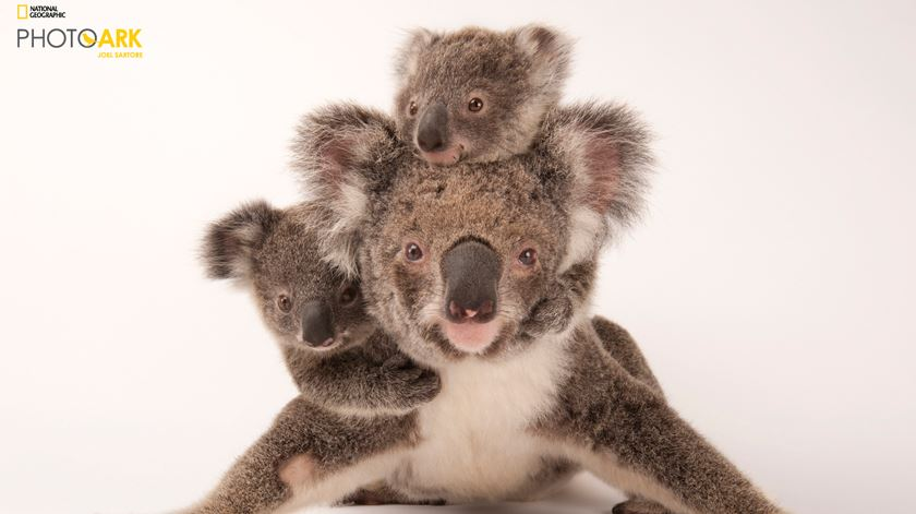 Koala Phascolarctos cinereus Foto: Joel Sartore/National Geographic