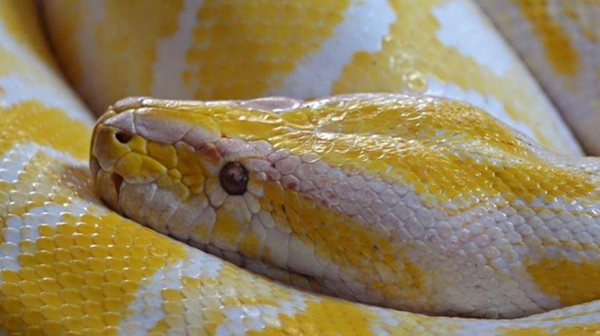 Cobra pitão albina de quatro metros capturada na serra algarvia