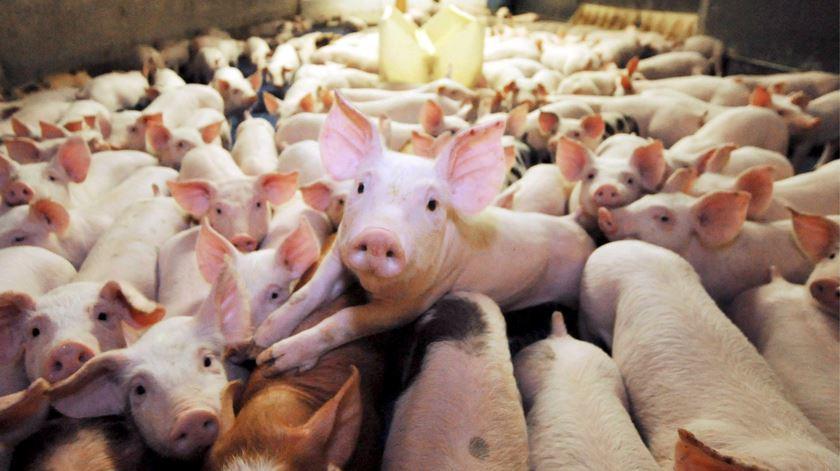 Em Espanha, há mais porcos do que espanhóis