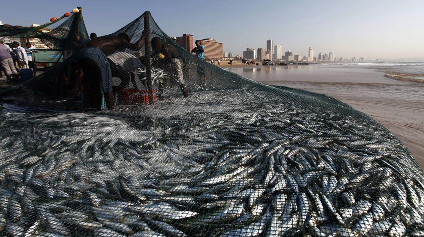 GNR apreende meia tonelada de sardinha em Matosinhos por falta de rastreabilidade