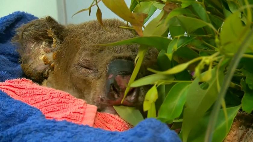 Morreu Lewis, o coala que uma australiana salvou das chamas