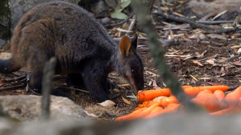 Animais que sobreviveram às chamas recebem ajuda. Austrália lança toneladas de vegetais
