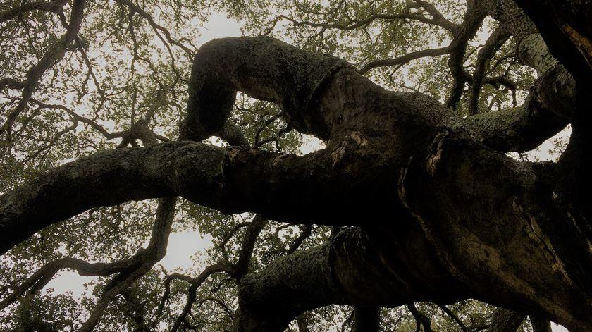 """A emblemática árvore já se tornou um """"ex libris"""" da aldeia de Águas de Moura, Palmela. Foto: Rosário Silva / RR"""