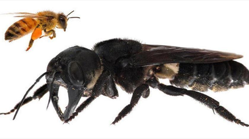 Abelha de Wallace é quatro vezes maior do que a abelha comum. Foto: Claybolt.com