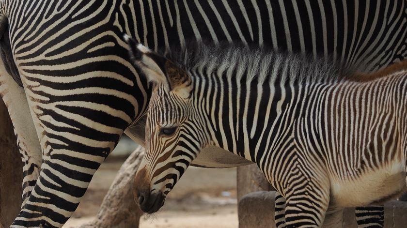 Zebra bebé e quatro crias de suricata são os novos habitantes do Zoo de Lisboa
