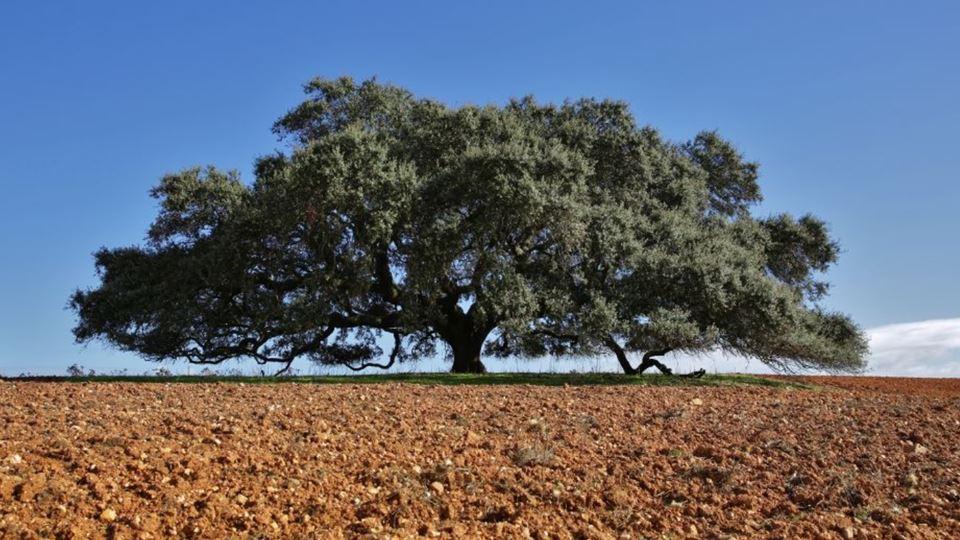 Azinheira do Monte do Barbeiro, arvore portuguesa do ano. Fotografia de Nuno Sequeira