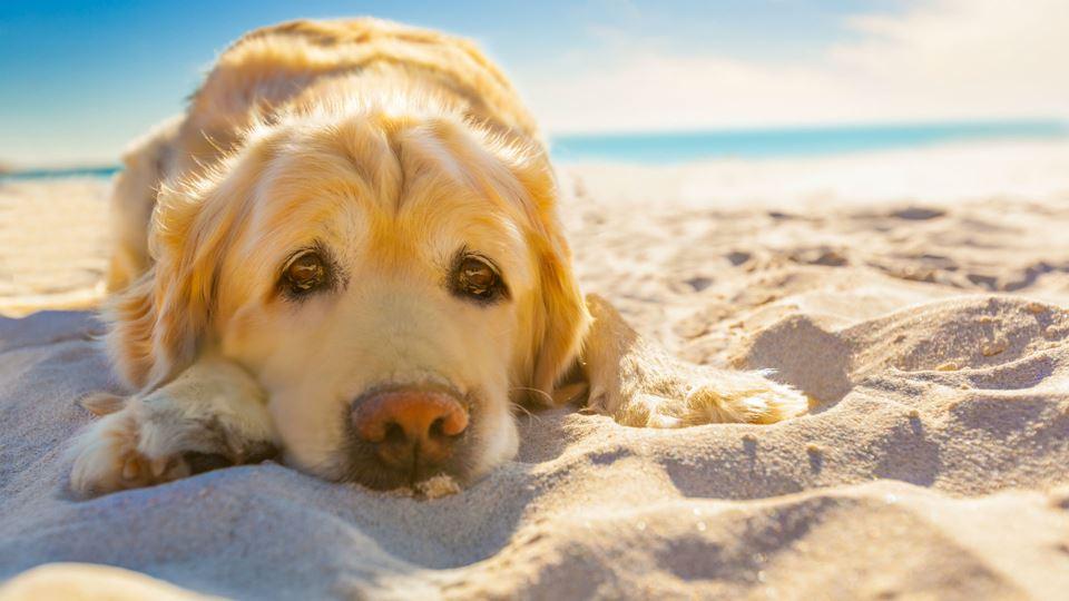 Cão deitado na areia